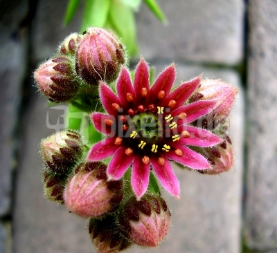 Dachwurzblüte