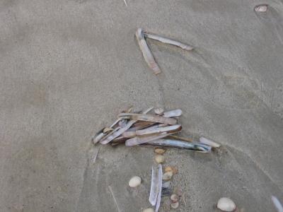 Muschelschalen am Strand