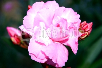 Blütentraum inrosa