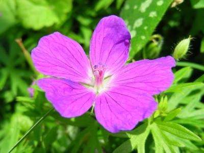 violetter Storchenschnabel