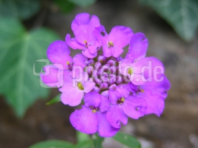 Schleifenblume - lila
