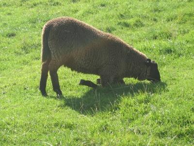 Bequemes Schaf
