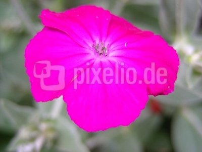Blüte der Kronen-Lichtnelke - 1