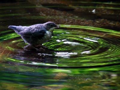 Junge Wasseramsel_2