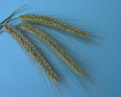 Getreide - Korn