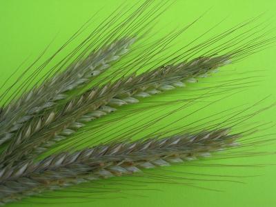 Getreide - Korn - Ähren
