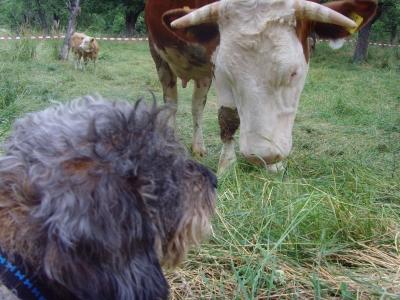 Ein Rindvieh aus Dackelsicht