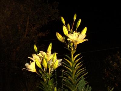 Lilie vor Nachthimmel