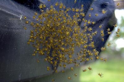 Spinnenbabys