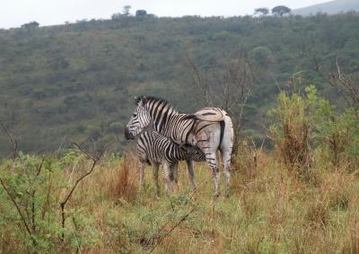 Zebra beim Säugen