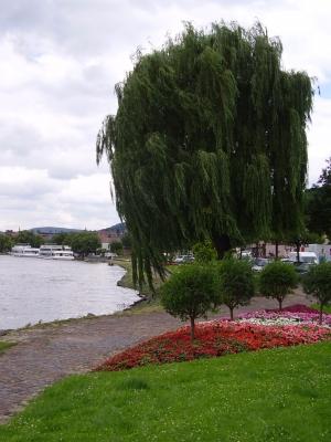 Trauerweide am Mainufer in Miltenberg