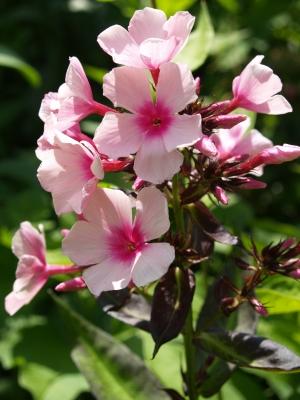 Pflox in rosarot