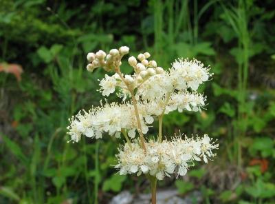 Mädesüss - Heilpflanze