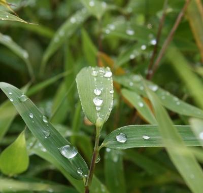 Regentropfen auf Bambusblättern