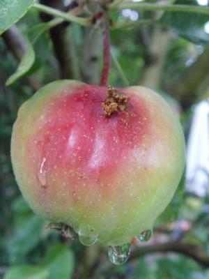 """Apfel mit """"Besuch"""" nach dem Regen"""