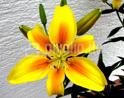 Lilienblüte (gelb-orange)