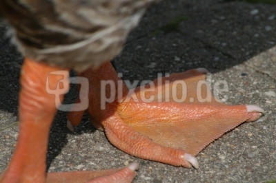 Entenfuß