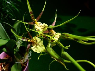 Orchidennpflanze