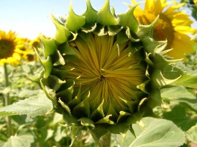 Sonnenblumenlabyrinth Holzgerlingen