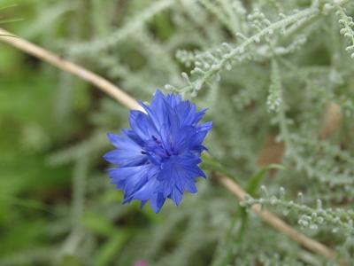 blaue Wiesenblume aus meinem Vorgarten