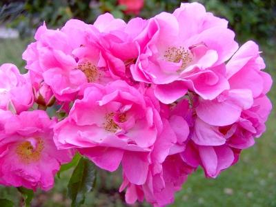 Teerosenblüten
