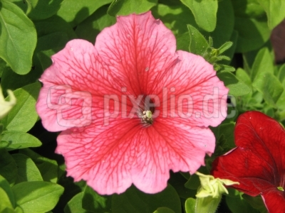 rosa-blühende Petunie
