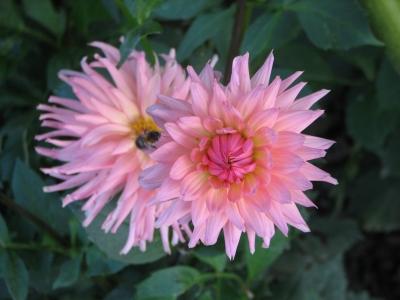 rosa-bräunliche Dahlie