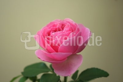 Rose Bild 1