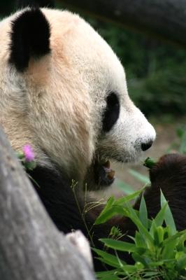 Hier ist er , der Panda Bär