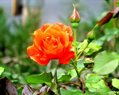 lachsfarbene Rose (Uferpromenade Miltenberg/Main)