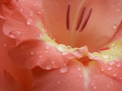 Gladiole im Regen