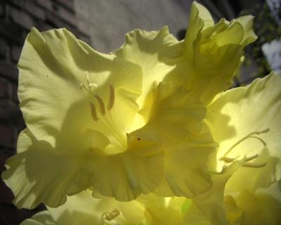 Gladiolen Gelb gegen das Sonnenlicht