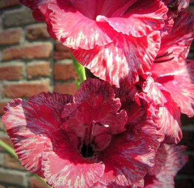 Gladiolen im Sonnenschein