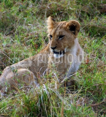 Löwenstark