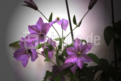 Clematis - Hybride