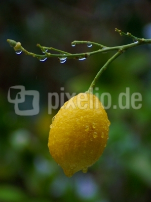 Zitrone im Regen