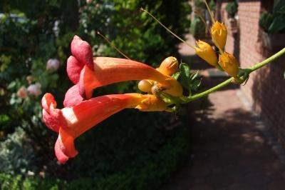 Trichterblüte