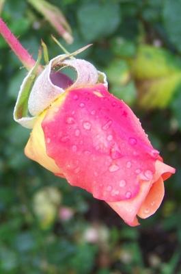 Nasse Rose 1