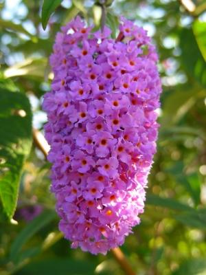 Schmetterlingsflieder - lila