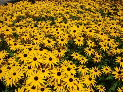 gelbes Sonnenblumenmeer