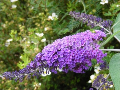 Schmetterlingsflieder - violett