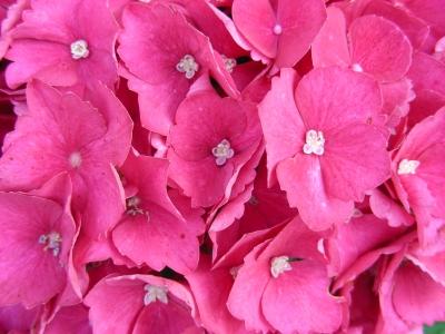 Hortensienblüten - rosa