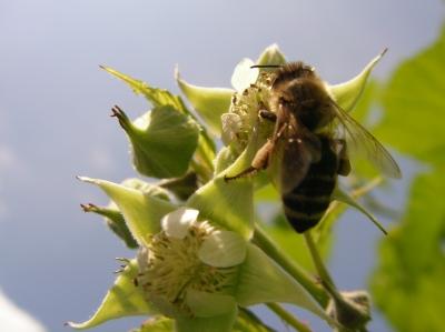 Biene auf Himbeerbluete