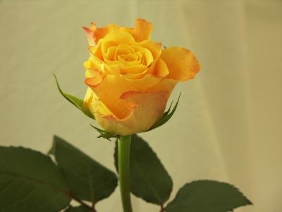 Rose zum Hochzeitstag