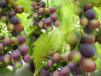 Weintrauben...