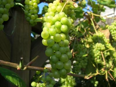 Weintrauben auf der Terrasse