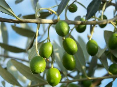 Oliven in der Sonne