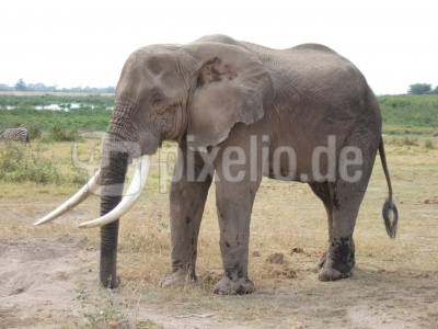 Elefant im Amboseli-Nationalpark (Kenia) 2