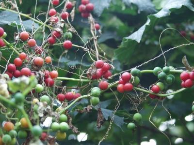 Grüne & Rote Beeren