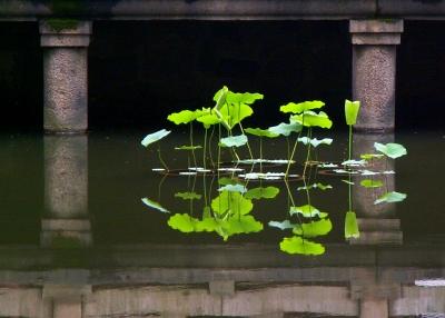 Lotus - ohne Blüte